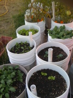 so this year i made self watering containers out of 5 gallon buckets - 5 Gallon Bucket Garden